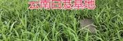紫花三叉白芨苗-供应云南500多万白芨苗_贵州白芨基地
