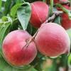弥勒早香蜜桃_新品种、树苗、基地信息