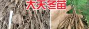 大天冬栽培方法#天冬病虫害防治—求购天门冬苗