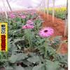 云南花卉种苗——适合大理种植的花卉苗木
