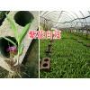 云南紫花白芨直播苗-宽叶白芨苗批发15924791418