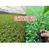 曲靖宽叶紫花白芨苗—会泽白芨苗种植基地15924791418