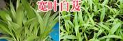 紫花白芨种植技术服务商—云南曲靖会泽白芨基地