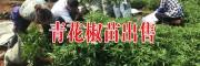 四川广安青花椒苗