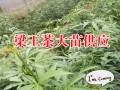 梁王茶图片