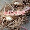 重楼根茎种植技术方法与事项?