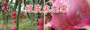 红心火龙果特色—云南红心火龙果多少一斤?