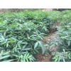 宜良县哪里有青花椒&花椒苗销售-13887043679