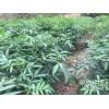 罗平县哪里有青花椒&花椒苗销售-13887043679