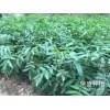 师宗县哪里有青花椒&花椒苗销售-13887043679