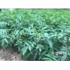 易门县哪里有青花椒&花椒苗销售-13887043679