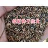 续断种子出售-13987235380-云南大理续断种子
