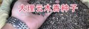 云木香几月播种?云南云木香播种方法/大理云木香种子