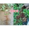 胡椒种苗、黑胡椒苗、保山隆阳区胡椒苗