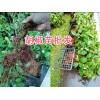 产地胡椒销售:保山隆阳区胡椒种植批发