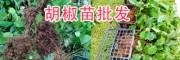 红胡椒、绿胡椒的区别/云南黑胡椒苗、白胡椒苗