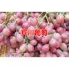 宾川葡萄什么时候成熟?[地理标志证明商标]_宾川葡萄什么时候开始上市?