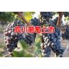 宾川葡萄特点_宾川葡萄什么时候开始上市?