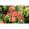 冬桃是什么?_适合云南种植的冬桃树苗