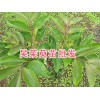 吴茱萸种植方法简述,用好苗今年种明年挂果