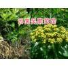 云南中花吴茱萸种苗-种植明年挂果-15368086541