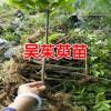 供应吴茱萸苗厂家批发[免费技术指导]_云南青野中药材开发公司