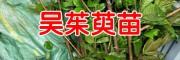 吴茱萸苗一株多少钱?