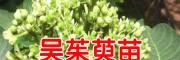吴茱萸苗木价格 _吴茱萸苗种价格
