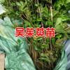 吴茱萸苗多少钱一棵(株)?吴茱萸苗亩产多少?