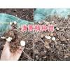 滇黄精根茎苗、50万棵优质滇黄精:芽多易成活