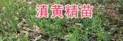 滇黄精加工方法-供应红河-文山黄精苗-13577933280