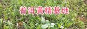 普洱产地黄精种苗-13577933280/滇黄精根茎苗批发