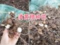 云南普洱供应50万棵滇黄精苗-包教技术13577933280