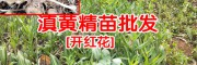贵州哪里有黄精苗?黄精苗多少钱一棵_黄精小苗多少一株?