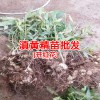 黄精种植高产技术栽培管理_普洱黄精苗圃