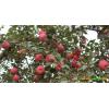 绥江县哪里有苹果苗-昭通苹果基地 13887043679