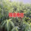 高产杏子苗种植技术_垂询热线13769209047