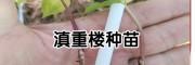 滇重楼籽种/滇重楼育苗-云南明远中药材种植有限公司