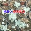 可爱玫瑰多肉植物多少钱?_昆明多肉植物种植批发基地