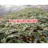 云南花椒树苗多少钱一棵?_九叶青椒苗和红椒苗