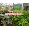 云南产地花椒树苗有哪些品种?九叶青椒苗和红椒苗