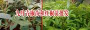 1亩地需要栽多少株花椒树苗好?_九叶青椒苗和红椒苗