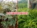 九叶青椒苗和红椒苗图库