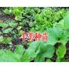 牛蒡保底回收产品-牛蒡种子批发销售厂家18216536586