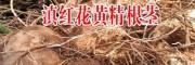 江西/贵州/云南黄精价格多少钱一斤