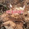 江西/贵州/云南黄精根茎_黄精种子图片