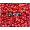 钙果苗价格-云南钙果苗基地