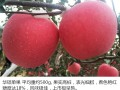 昭通果业-专种植苹果苗