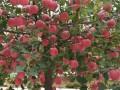昭通苹果苗木繁育基地