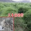 玉林/成都天冬多少钱一斤/13877589250